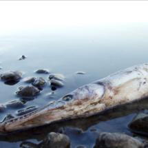 Dead Fish - Shore